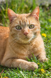 Nette rothaarige Katze, die auf dem Gras liegt Lizenzfreies Stockfoto