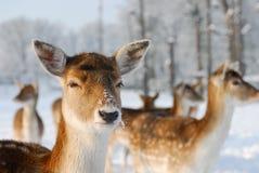 Nette Rotwild im Winter Stockbild