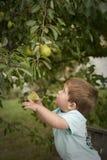Nette Sammelnfrucht des kleinen Jungen vom Baum Stockfoto