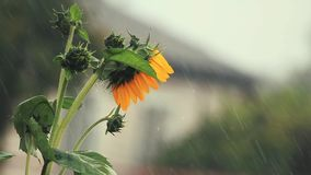 Nette schöne erstaunliche gelbe frische Sonnenblume während eines Regengussregens mit einer Brise Flache Tiefe des Feldes, getont stock video
