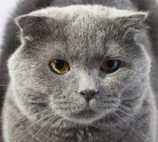 Nette schöne graue Katze Lizenzfreie Stockfotografie