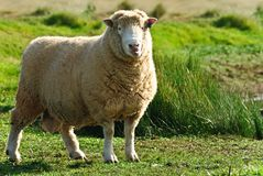 Nette Schafe Lizenzfreies Stockfoto