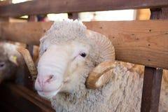 Nette Schafe Stockbild