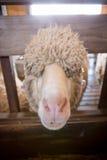 Nette Schafe Lizenzfreie Stockfotos