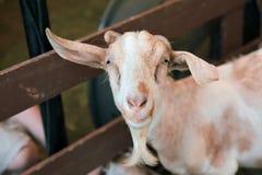 Nette Schafe Stockfoto