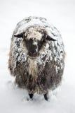 Nette Schafe bedeckt mit einem Schnee Lizenzfreie Stockbilder