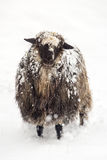 Nette Schafe bedeckt mit einem Schnee Lizenzfreies Stockbild
