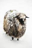 Nette Schafe bedeckt mit einem Schnee, der die Kamera untersucht Lizenzfreies Stockfoto