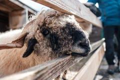 Nette Schafe, die durch einen Zaun im Sonnenuntergang auf einem Bauernhof in Österreich schauen Lizenzfreies Stockfoto
