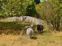 Nette Schafe nahe bei Apfelbaum Lizenzfreie Stockfotos
