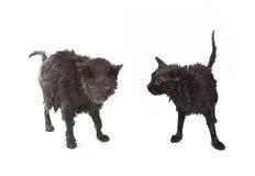 Nette schwarze feuchte Katze nach einem Bad, lustiger kleiner Dämon Stockfoto
