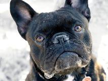 Nette schwarze französische Bulldogge, die oben zur Kamera schaut stockbild