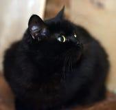 Nette schwarze Katze Stockfoto