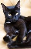 Nette schwarze Katze mit gelben Augen Lizenzfreies Stockbild