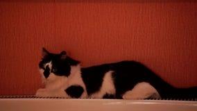 Nette Schwarzweiss-Katze liegt auf einer Zentralheizungsbatterie und bewegt sein Endstück wellenartig stock footage