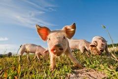 Nette Schweine Lizenzfreie Stockfotos