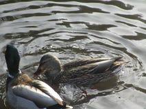 Nette schwimmende Enten und Trinkwasser in einem Ententeich Stockfotografie