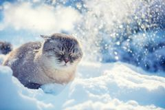 Nette siamesische Katze, die in den Schnee geht stockbilder
