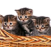 Nette sibirische Kätzchen stockfotos