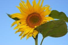 Nette Sonnenblume Stockbild