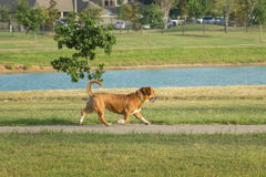 Nette Spürhund Waliser-Corgimischung, die in einen Hundepark läuft Stockfotografie