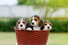 Nette Spürhunde Stockfoto