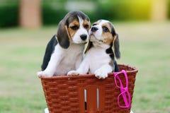 Nette Spürhunde Stockbilder