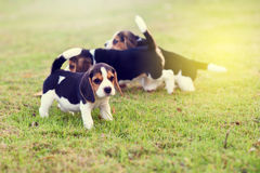 Nette Spürhunde Lizenzfreies Stockfoto