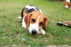 Nette Spürhunde, die im Hinterhof spielen Lizenzfreie Stockfotos