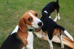 Nette Spürhunde, die im Hinterhof spielen Stockfotos