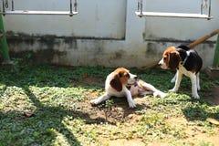 Nette Spürhunde, die im Hinterhof spielen Lizenzfreie Stockfotografie
