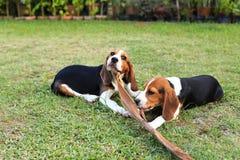 Nette Spürhunde, die im Hinterhof spielen Lizenzfreies Stockfoto