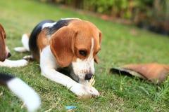 Nette Spürhunde, die im Hinterhof spielen Lizenzfreies Stockbild