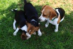 Nette Spürhunde, die im Hinterhof spielen Stockbilder