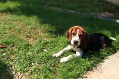 Nette Spürhunde, die im Hinterhof spielen Stockfoto