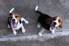 Nette Spürhunde, die im Hinterhof spielen Lizenzfreie Stockbilder