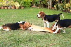 Nette Spürhunde, die im Hinterhof spielen Stockbild