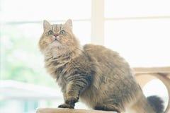 Nette Stellung der persischen Katze Stockfoto