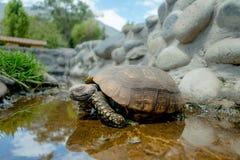Nette Suppenschildkröte, die auf einen Teich im Bauernhof geht Stockfotos