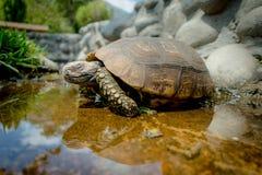 Nette Suppenschildkröte, die auf einen Teich im Bauernhof geht Lizenzfreies Stockfoto