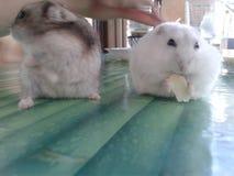 Nette und kleine russische zwergartige Hamster lizenzfreies stockfoto