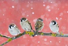 Nette Vogelspatzen, die auf einer Niederlassung während Schneefälle auf Rot sitzen Lizenzfreie Stockfotos