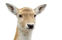 Nette Weiß-angebundene Rotwild Lizenzfreies Stockfoto