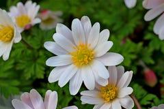 Nette weiße Blume in einer Wiese Gänseblümchen Lizenzfreie Stockfotografie