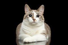 Nette weiße Katze, blaue Augen, neugierige Blicke, lokalisierter schwarzer Hintergrund Lizenzfreies Stockbild