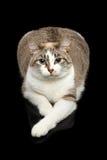 Nette weiße Katze, blaue Augen, neugierige Blicke, lokalisierter schwarzer Hintergrund Stockfoto