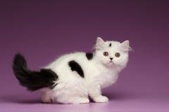 Nette weiße schottische gerade Kitten Playing und zurück schauen Stockbild