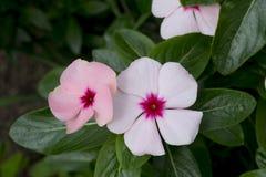 Nette weiße und rosa Singrüne Lizenzfreies Stockfoto