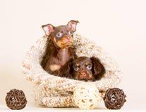 Nette Welpen, die in einer Ledertasche sitzen Stockfotografie