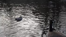 Nette Winter Kanada-Gans und viele Stockenten in einem Teich stock footage